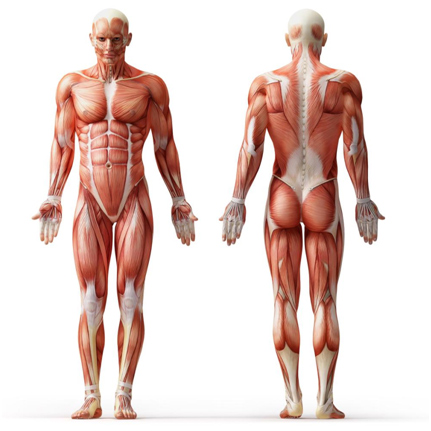 رعایت اصول تقسیم بندی عضلات